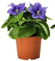 Stekplanten in pot